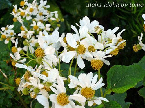 タンタラスの丘の花1